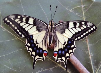Papilio machaon Toussaint Michel Saint-Pompain 79 22062017 {JPEG}