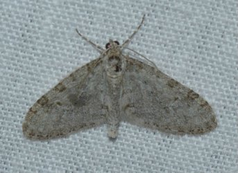 Trichopteryx carpinata West Hazel La Clotte 17 02042016 {JPEG}