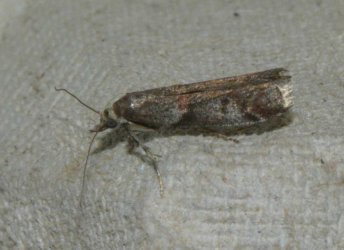 Acrobasis sp West Hazel Corignac 17 27052016 {JPEG}