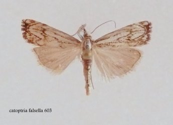 Catoptria falsella Lemoine Christian Thouars 79 14072008 {JPEG}