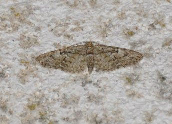 Eupithecia dodoneata West Hazel et Ron Mortagne sur Gironde 17 05042014 {JPEG}