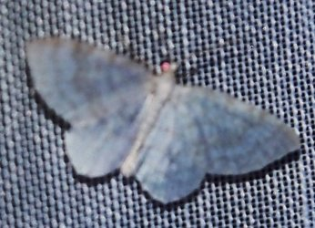 Asthena albulata (possible) Charles Geneviève Lozay 17 02082016 {JPEG}