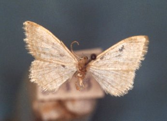 Idaea subsericeata Collection Levesque Robert {JPEG}