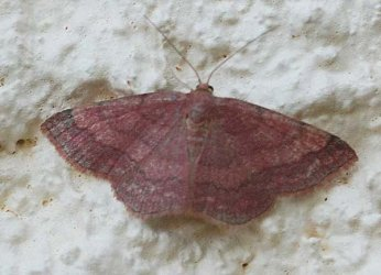 Scopula rubiginata Rebeyrol Christian Niort 79 21062009 {JPEG}