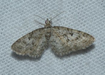 Eupithecia dodoneata West Hazel Saint-Ciers du Taillon 17 10052016 {JPEG}