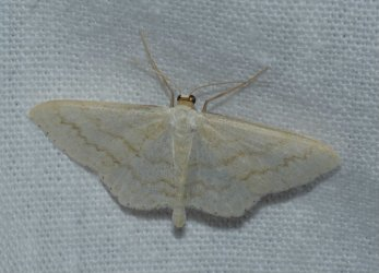 Scopula floslactata West Hazel La Clotte 17 08062016 {JPEG}