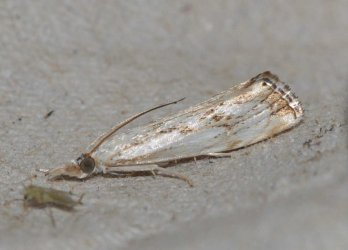 Catoptria falsella West Hazel et Ron Saint-Sorlin de Conac 17 11062015 {JPEG}