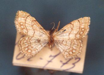 Idaea moniliata Collection Levesque Robert {JPEG}