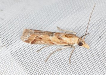 Ancylosis cinnamomella Champarnaud Claude Saint-Froult 17 23062019 {JPEG}