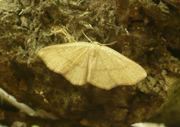 Cyclophora linearia Commentry 03 29042010 {JPEG}