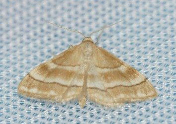 Idaea circuitaria Laluque Olivier Grand-Village 17 14072016 {JPEG}