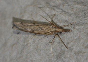 Pediasia contaminella West Hazel et Ron Mortagne sur Gironde 17 11062014 {JPEG}