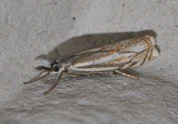 Crambus lathoniellus West Hazel et Ron La Clotte 17 05062015 {JPEG}