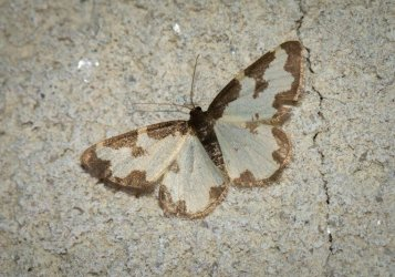 Lomaspilis marginata Champarnaud Claude Rochefort 17 25072016 {JPEG}