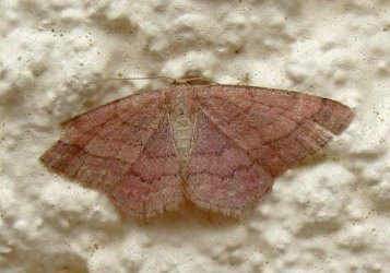 Scopula rubiginata Rebeyrol Christian Niort 79 19092009 {JPEG}