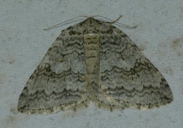 Epirrita sp West Hazel La Clotte 17 08112015 {JPEG}