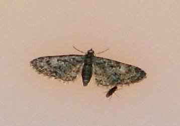 Eupithecia dodoneata Rebeyrol Christian Niort 79 29042010 {JPEG}