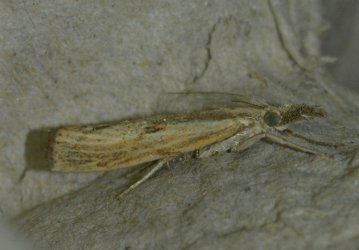 Agriphila inquinatella West Hazel et Ron La Clotte 17 11082015 {JPEG}
