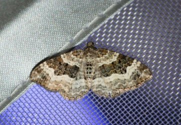 Epirrhoe alternata Champarnaud Claude Rochefort 17 20062016 {JPEG}