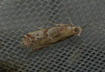 Pempeliella dilutella West Hazel et Ron La Clotte 17 20072015 {JPEG}