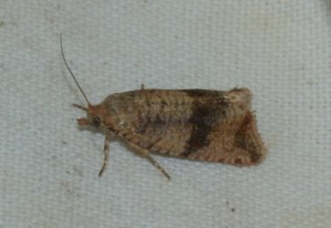 Celypha striana West Hazel Corignac 17 24082016 {JPEG}