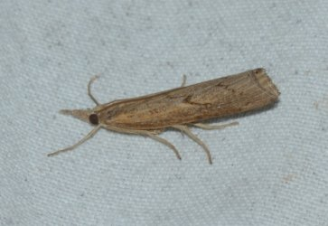 Pediasia contaminella West Hazel Saint-Ciers du Taillon 17 28082016 {JPEG}