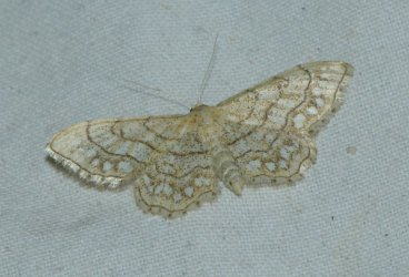 Idaea moniliata West Hazel La Clotte 17 25072016 {JPEG}