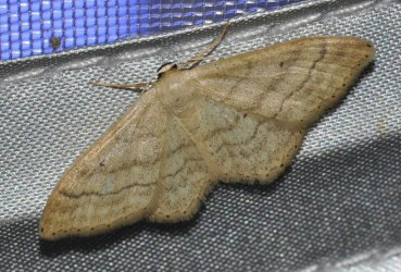 Idaea maritimaria West Hazel et Ron La Clotte 17 05062015 {JPEG}