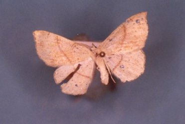 Cyclophora punctaria Collection Levesque Robert {JPEG}
