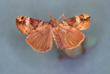 Hypena obsitalis Collection Levesque Robert {JPEG}