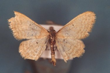 Idaea macilentaria Collection Levesque Robert {JPEG}