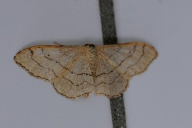 Idaea_aversata_Vogel_Gerard_Beaune_21_11072010 {JPEG}