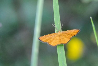 Idaea_flaveolaria_Vogel_Gerard_Courchevel_73_08072010 {JPEG}