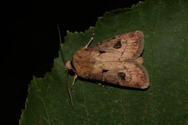 Agrotis exclamationis Roques Olivier Bords 17 01082015 {JPEG}