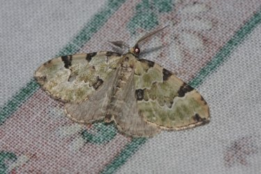 Colostygia pectinataria Roques Olivier Bords 17 22052015 {JPEG}