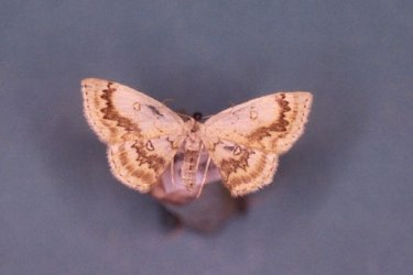 Cyclophora annularia Collection Levesque Robert {JPEG}