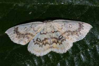 Cyclophora annularia Roques Olivier Bords 17 05062015 {JPEG}