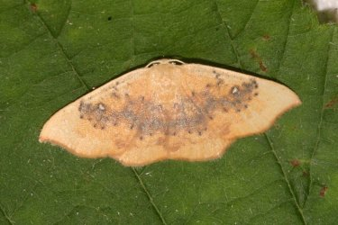 Cyclophora lennigiaria Roques Olivier Bords 17 30062015 {JPEG}