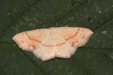 Cyclophora punctaria Roques Olivier Bords 17 06072015 {JPEG}