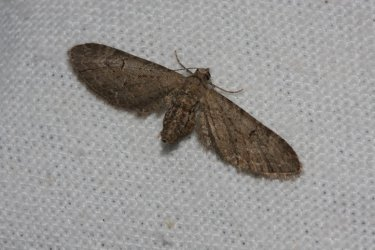 Eupithecia innotata Roques Olivier Grand Village Plage 17 09092015 {JPEG}