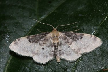 Idaea filicata Roques Olivier Bords 17 05062015 {JPEG}
