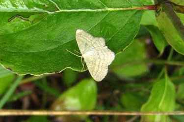 Idaea subsericeata Coutureau Michel Mornac 16 19082006 {JPEG}