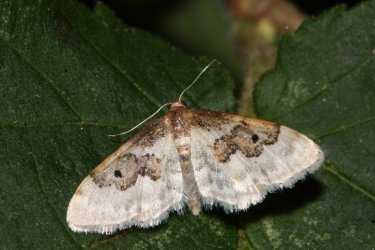 Idaea vulpinaria Roques Olivier Bords 17 30062015 {JPEG}