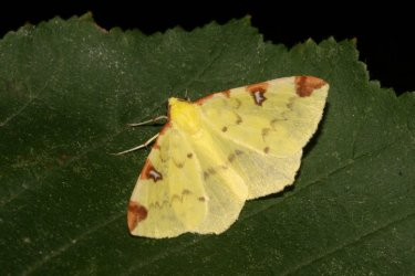 Opisthograptis luteolata Roques Olivier Bords 17 01082015 {JPEG}