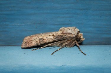 Agrotis puta Champarnaud Claude Rochefort 17 29042016 {JPEG}