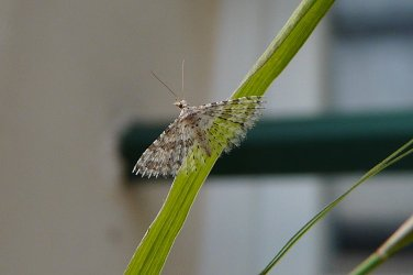 alucita hexadactyla linnaeus 1758 papillons de poitou charentes. Black Bedroom Furniture Sets. Home Design Ideas