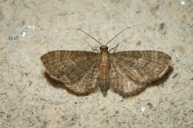 Eupithecia haworthiata Champarnaud Claude Rochefort 17 26052016 {JPEG}