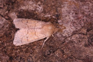 Orthosia miniosa Roques Olivier Bords 17 30032016 {JPEG}