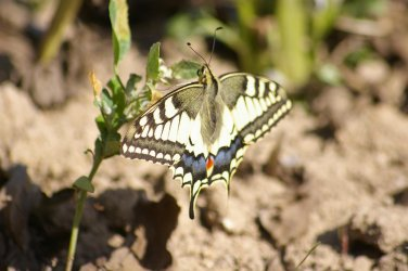 Papilio machaon Courtin Bernard Voultegon 79 11062010 {JPEG}