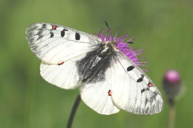 Parnassius phoebus Vogel Gérard Courchevel 73 09072009 {JPEG}